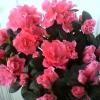 Що це за квітка: кливия, волотта або ін,? З якого сімейства (цвіте в червні)