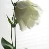 У мене не цвіте орхідея (фаленопсис), допомагаючи (