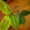 Як довго росте олеандра до того моменту як почне цвісти?
