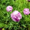 Що потрібно знати про посадку гвоздики альпійської і догляді за квітами?