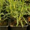 Що ви знаєте про рослину хлорофітум чубатий?