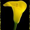 Що означають кали на мові квітів і що можна написати на листівці в додатку до квітів, в
