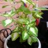 Допоможіть знайти насіння махрового білого бальзаміну!