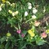 Посіяла насіння хризантеми, зійшли дружно, ось як далі з ними бути?