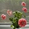 Квітка бальзамін