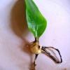 Фаленопсис. Чи можна його пересадити під час цвітіння?