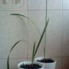 Чи можна посадити будинку ананас?