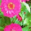 Ціннія витончена в оздобленні саду і в зрізку, особливості догляду за квітами