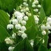Квітковий гороскоп в травні