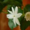 Жасмин - це багаторічна або однорічна рослина? Як садити?