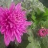Як доглядати за квіткою толстянку (грошове дерево)