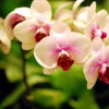 Квітучий фаленопсис полила зануренням до повного намокання грунту - квіти обсипаються