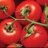 «Дар заволжжя»: опис та характеристика сорту томату, рекомендації по вирощуванню помідорів