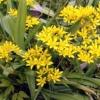 Декоративні луки (allium) - прикраса садової ділянки