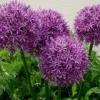 Декоративний лук: посадка, вирощування, особливості догляду