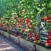 Робимо правильну теплицю для помідор своїми руками: вибір матеріалу і секрети догляду