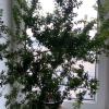 Підкажіть як правильно посадити листочок стрептокарпуса щоб не загубити, сьогодні нам