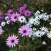 Діморфотека: вирощування, сорти