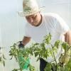 Для чого розсаду томатів підгодовують сечовиною і як це правильно робити?