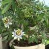 У мну зацвів квітка пасифлора