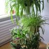 Здрастуйте, де краще зберігати хлорофітум на балкон (де багато світла) або на холодильник (в