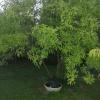 Додано четверте рослина: 1. Типу чагарнику, зростає у знайомих в городі вже багато років