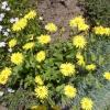 Доронікум- моє сонечко в саду.