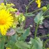 Дороникум - прекрасна прикраса мого саду