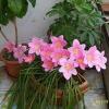 Найпростіший квітка - традесканція, правда квіточки в неї дрібні
