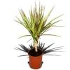 Драцена триколор не росте що робити? Можливо обривання нижніх листочків вплине на зростання?