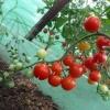 Коштовність з сибіру - сорт помідора «малахітова скринька»: опис і особливості вирощування томата