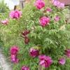 Деревоподібна півонія краса в моєму саду.