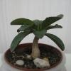 Питання фіалководам. Чому в однієї з моїх семи сенполій закручуються листя?
