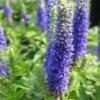 Два головних правила вирощування вероніки колоскової