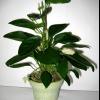 Хочу посадити насіння адениума, як швидко сходять і на якому році життя зацвітають?