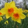 Два роки не цвітуть нарциси. Як стимулювати цвітіння?