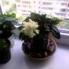 Про квітку клеродендрум
