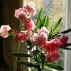 Чому еухарис не цвіте? Стоїть біля протилежної стіни від вікна на роботі. Див