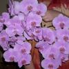 Невже треба пересаджувати гібридний фаленопсис після його цвітіння?