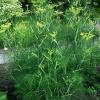 Фенхель - найближчий родич кропу пахучого, корисні властивості, вирощування фенхеля