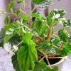Як розвести дрібноквіткові хризантему
