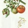 Фітофтора на томатах і боротьба з нею