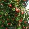 Фотографії яблуні з мого саду в 2013 році