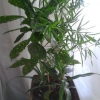 Пеларгонія (герань) дорослі листя жовтіє, нові чорніють, бутони в`януть. Гине моя герань