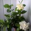 Гарденія не цвіте та ще нижнє листя пожовкло з бурими плямами, що робити
