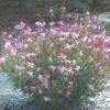 Гаура, квіти на садовій ділянці, культура, агротехніка