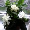 Вчора подарували квітучу гарденії :) варто її зараз пересаджувати? Або не чіпати до весни?