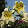 В якому місяці цвіте лілея?