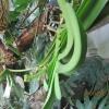 Як ви садите замиокулькас, бульби закопуєте в землю? Або залишаєте на поверхні?