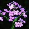 Гесперіс, або вечірниця, запашний квітка в оздобленні саду